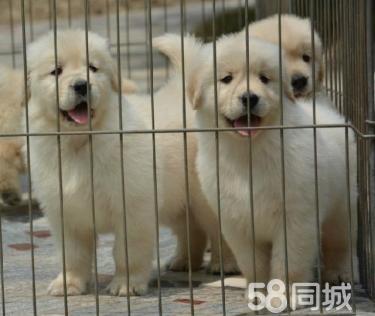 出售纯种大头金毛 金毛幼犬 健康质保实物如图