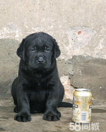 《拉布拉多专售区》纯种拉布拉多幼犬出售拉不拉多价格