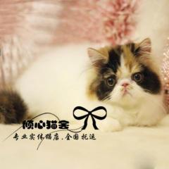 黃白凈梵波斯貓梵文幼貓cfa家庭貓舍活體幼貓寵物貓