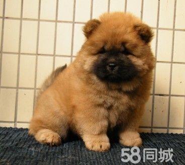 出售纯种大头肉嘴紫舌头松狮犬白色黄色黑色都有