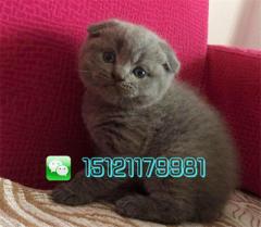 赛级大脸蓝猫八字脸蓝白品相好价格合理包售后终生咨询