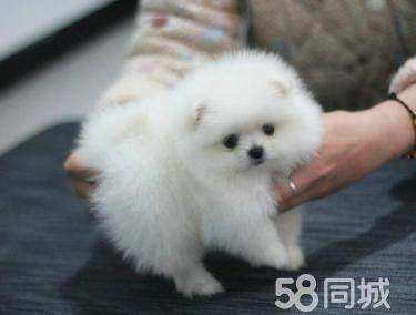 俊介博美幼犬出售專業犬舍繁殖疫苗齊全血統純博美幼犬