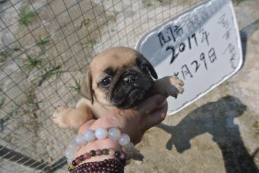 (巴哥)本地犬舍專業繁殖及家養抱窩