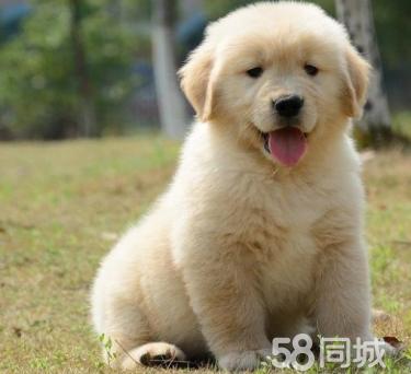 出售赛级金毛、包养活、包纯种、送狗用品、签协议