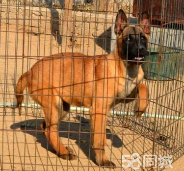 【CKU犬舍】出售纯种比利时马犬带证书,可视频