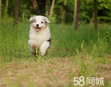 出售高品質三通七白到位邊境牧羊犬,買狗送用品