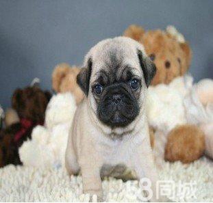 巴哥幼犬出售 纯种家养巴哥质量保证 欢迎上门挑选