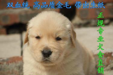 『护天犬舍』-CKU专业犬舍直销-双血统金毛高品质