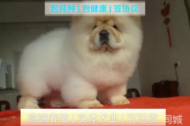 憨厚肉嘴松狮幼犬出售公母均有保纯种健康