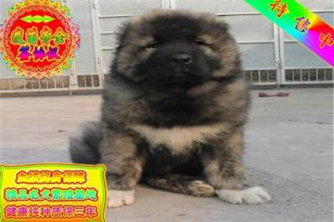 出售护卫犬巨型高加索犬纯种宠物狗狗活体狼青色高加索