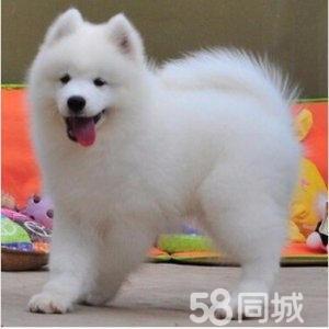 养殖基地出售微笑天使萨摩耶幼犬,驱虫疫苗齐全