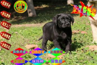 本地犬场一出售小七同款拉布拉多一包养活一签协议
