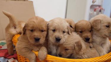 出售��N金毛幼犬 品� 好 公母都有 可送�到家