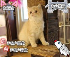 超可愛包子臉綠眼波斯貓寶貝 多窩選擇 有保證