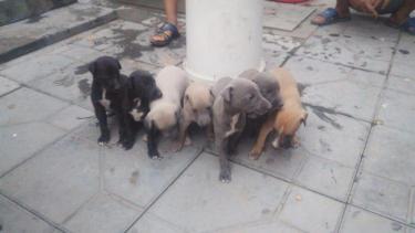 1個月的格力犬1000元(公母均有)
