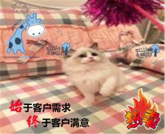 【强势来袭】CFA高端精品布偶猫幼咪热卖中