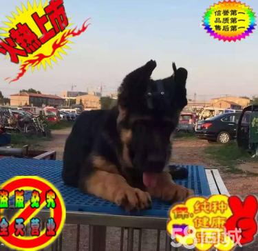 出售双血统赛级德牧幼犬,CKU护卫犬繁育基地