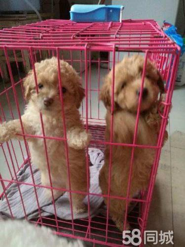 爱Ta,就送Ta心爱的狗狗~泰迪。