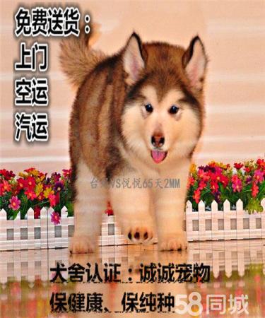 纯种阿拉斯加幼犬 大骨量雪橇犬 多色可选