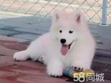 3个月的边境牧羊犬1500元(公母均有)