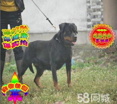 純正頂級羅威那犬憨厚忠誠體格健壯專業標準疫苗齊全