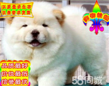 出售出售松獅幼犬 憨厚的肉嘴松獅幼犬找新家 包健康