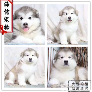 阿拉斯加狗狗出售了 活潑可愛的阿拉斯加 骨架大哦