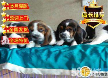 巴吉度幼犬、自家繁殖品质保障完美售后可上门
