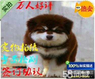 出售純種健康阿拉斯加幼犬 活潑可愛 可上門