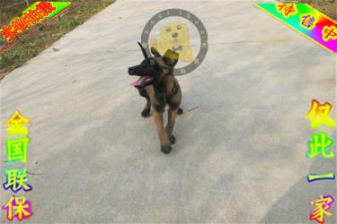 正规训犬基地常年繁殖比利时马犬健康有保障签协议