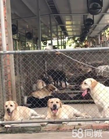 导盲犬小七、黑色丶白色丶咖啡色均有纯种健康有保障