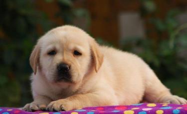 常年销售【拉拉犬】疫苗齐全一纯粹血统一健康有保