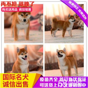 纯种柴犬出售聪明忠诚品相一流赛级品质健康