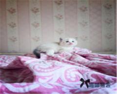 专业繁育布偶猫:双色、重点色、手套色均有