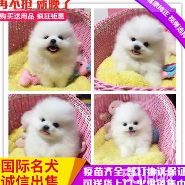 出售本地繁殖精品博美犬便宜出售,包纯包健康包养活