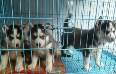 狗�鲋变N 便宜出售 ��N哈士奇 二哈 全省可送�
