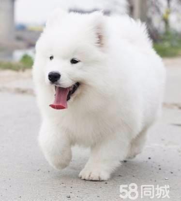 会暖床的微笑天使脸萨摩耶幼犬 各位?#39029;?#30475;过来