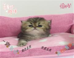 【自家繁育】金吉拉小宠猫,接受预订