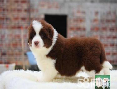 智商第一的边境牧羊犬温顺聪明赛级幼犬 健康纯种双重