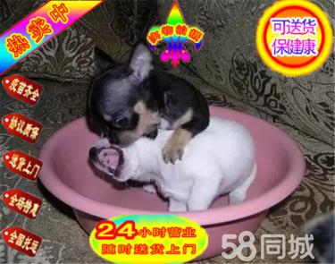 出售純種吉娃娃犬,血統純正可上門簽協議包健康