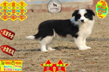 纯种边境牧羊犬 专业繁育 健康品质保障可签协议