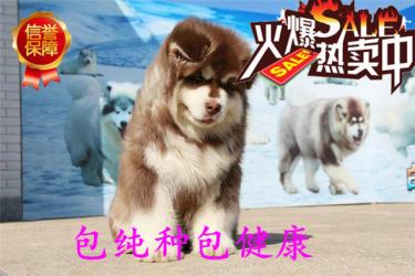 出售超大骨架巨型阿拉斯加雪橇犬,健康血統簽協議
