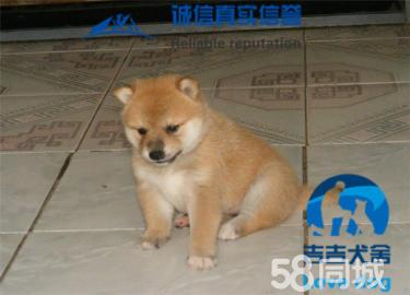 纯正日系柴犬,日本引进种犬繁殖,包纯种健康