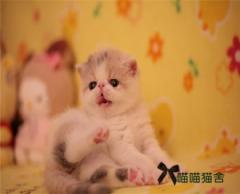 純種健康波斯貓包子臉肉粉粉 水滴大眼