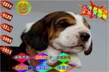 极品巴吉度狩猎犬幼犬出售纯种疫苗齐全欢迎上门