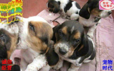 巴吉度幼犬出售包純種健康 喜歡的朋友可上門看狗