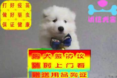 出售萨摩耶幼犬活泼可爱健?#24403;?#35777;好品相多只挑选