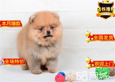 德系狐狸犬 纯正哈多利球型博美犬 纯色爆毛 超漂亮