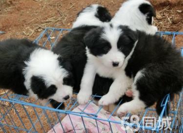 〖官方質保〗中國最大實體狗場出售各種世界名犬包養活