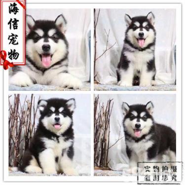 阿拉斯加狗狗出售了,活泼可爱的阿拉斯加,骨架大哦
